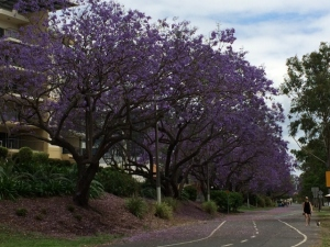 Jacaranda season is magical. That's our balcony on the left